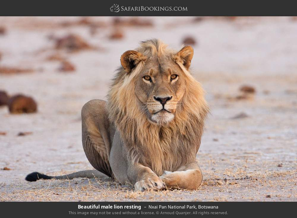 Beautiful male lion resting in Nxai Pan National Park, Botswana