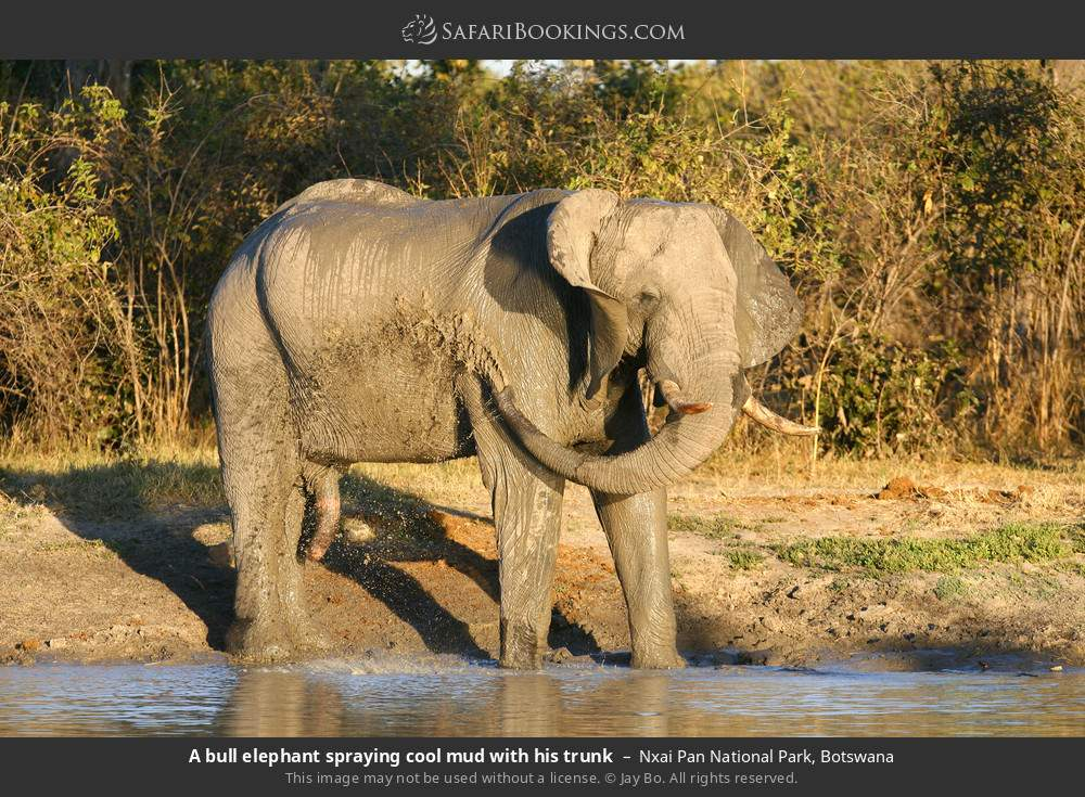 A bull elephant spraying cool mud with his trunk in Nxai Pan National Park, Botswana