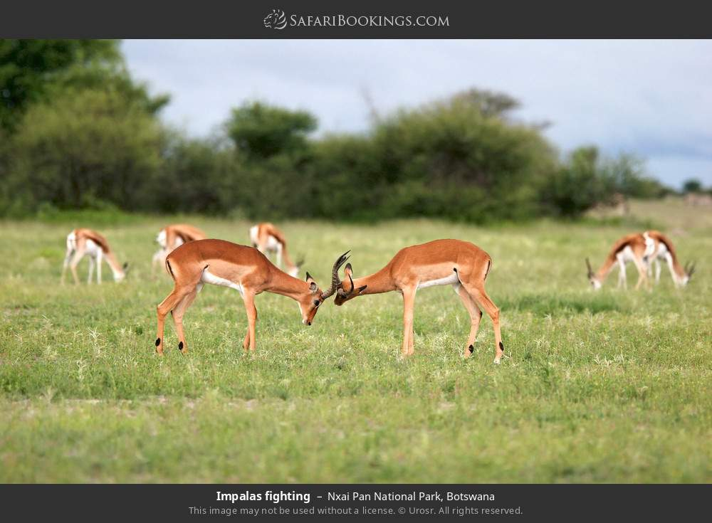 Impalas fighting in Nxai Pan National Park, Botswana