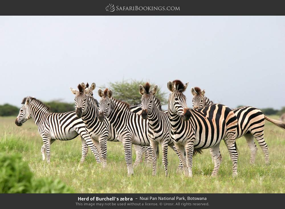 Herd of Burchell's zebra in Nxai Pan National Park, Botswana