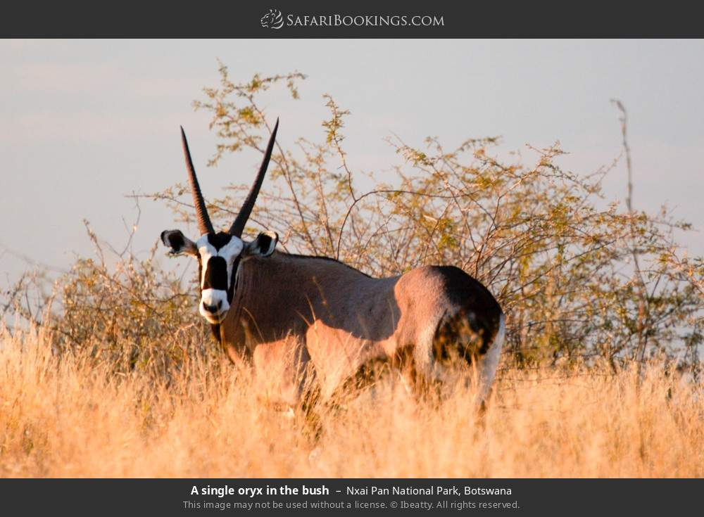 A single oryx in the bush in Nxai Pan National Park, Botswana