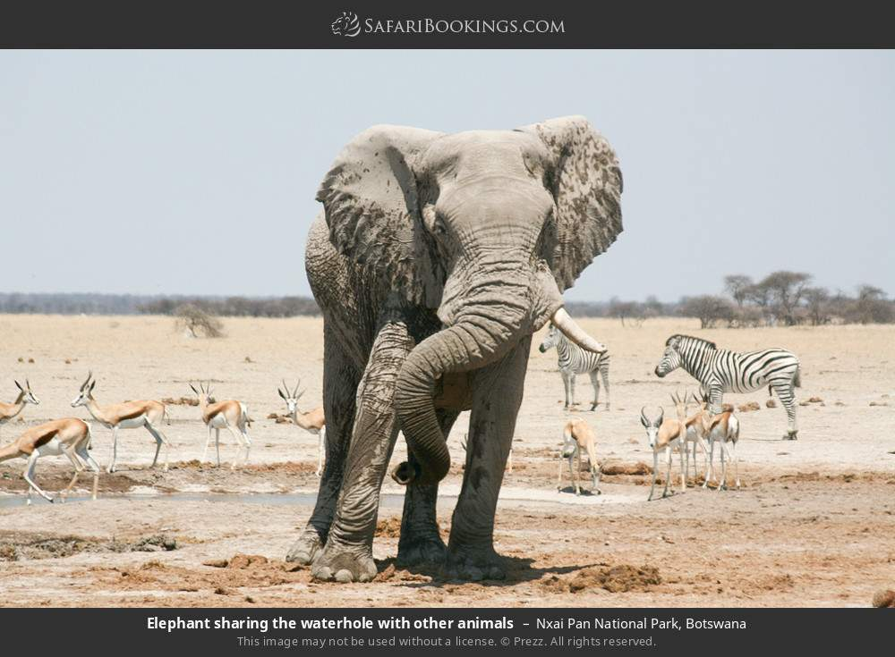 Elephant sharing the waterhole with other animals in Nxai Pan National Park, Botswana