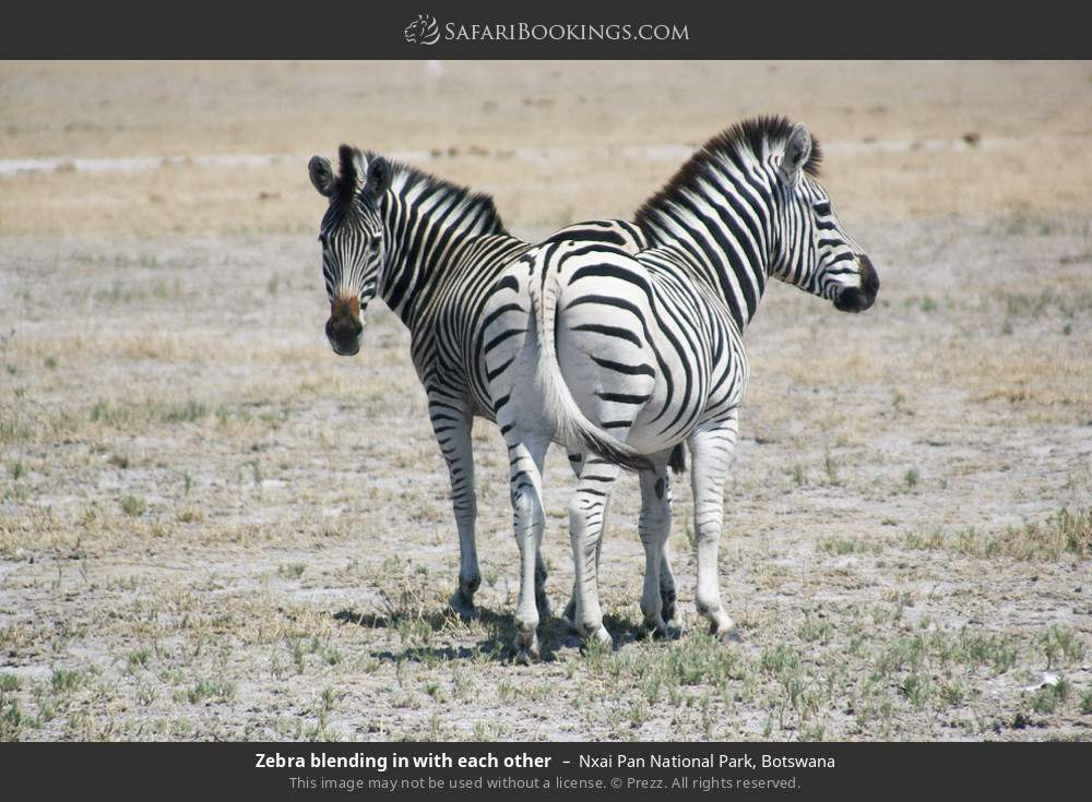 Zebra blending in with each other in Nxai Pan National Park, Botswana