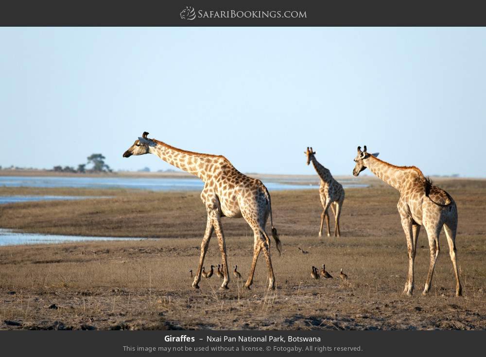 Giraffes in Nxai Pan National Park, Botswana