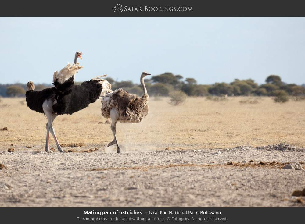 Mating pair of ostriches in Nxai Pan National Park, Botswana