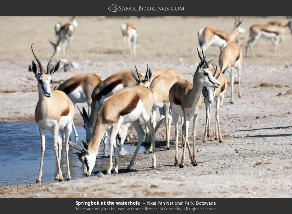 Springbok at the waterhole in Nxai Pan National Park, Botswana