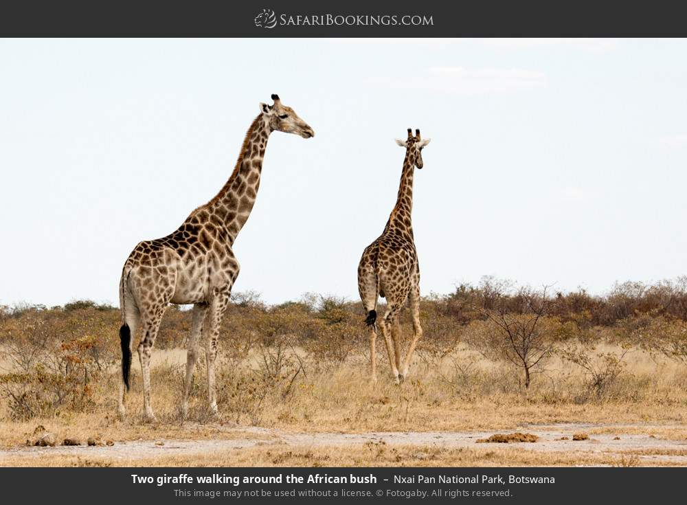 Two giraffe walking around the African bush in Nxai Pan National Park, Botswana