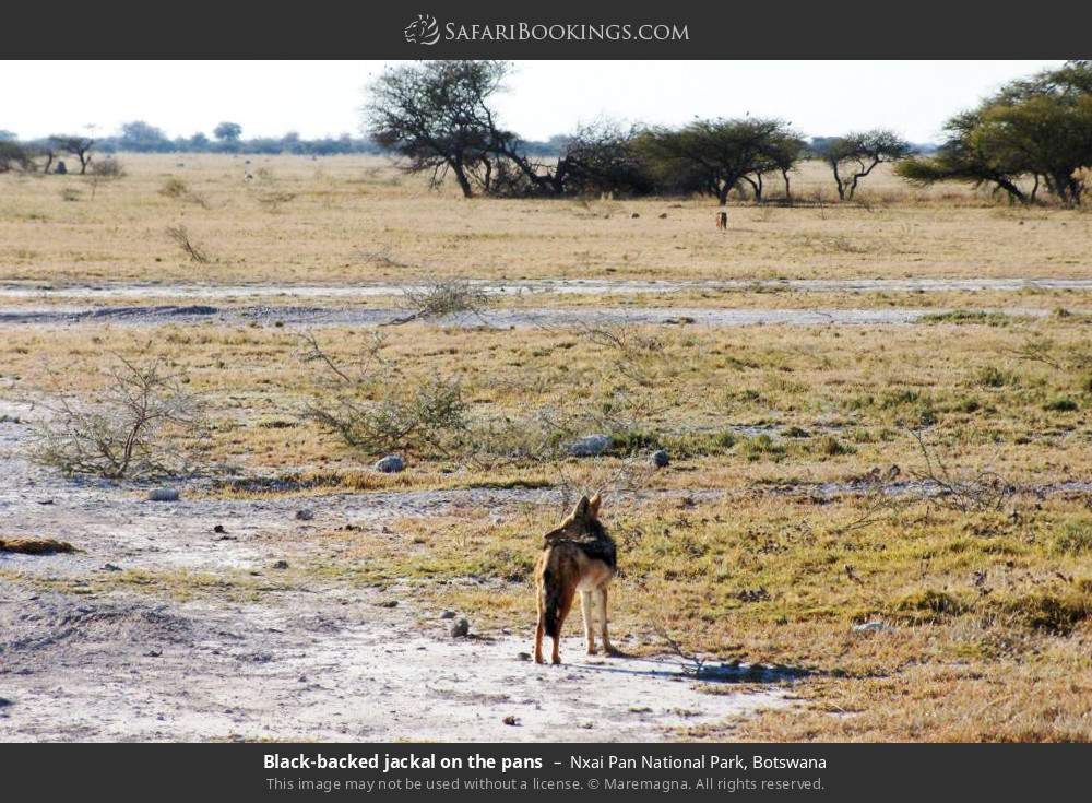 Black-backed jackal on the pans in Nxai Pan National Park, Botswana