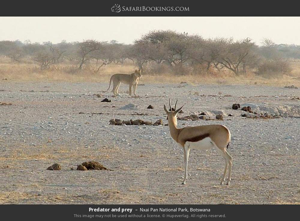 Predator and prey in Nxai Pan National Park, Botswana