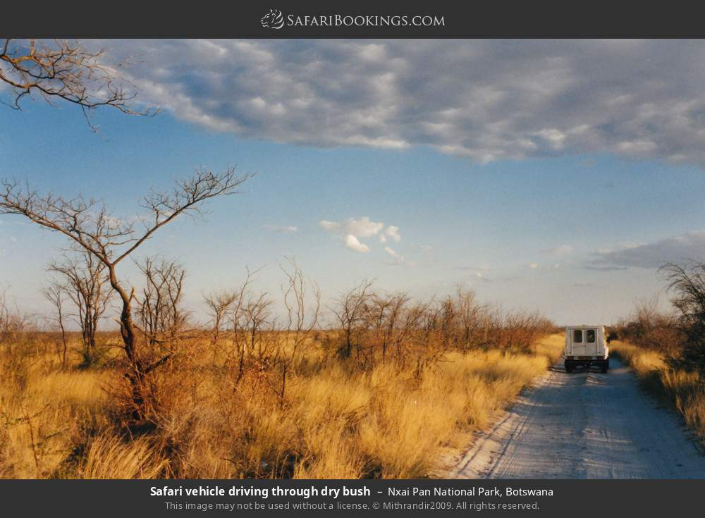 Safari vehicle driving through dry bush in Nxai Pan National Park, Botswana