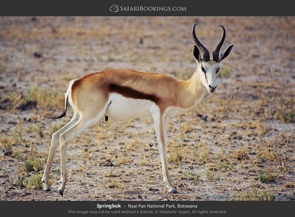 Springbok in Nxai Pan National Park, Botswana
