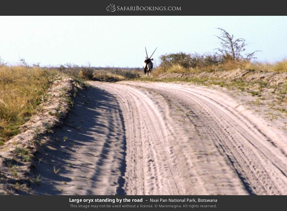 Large oryx standing by the road in Nxai Pan National Park, Botswana