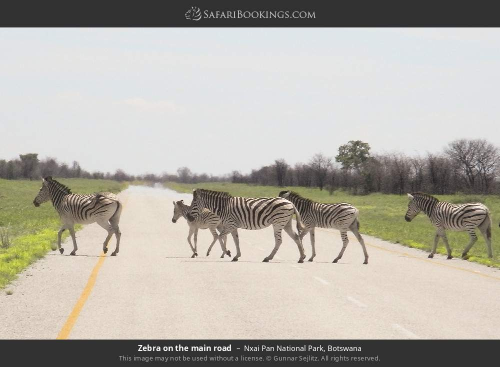 Zebra on the main road in Nxai Pan National Park, Botswana