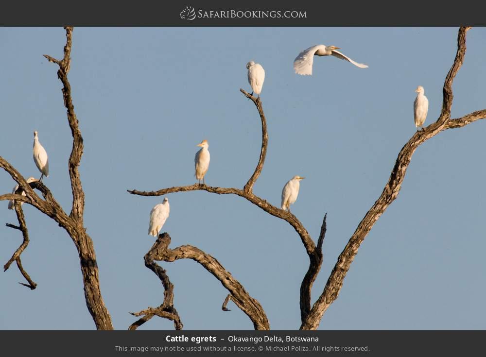 Cattle egrets in Okavango Delta, Botswana
