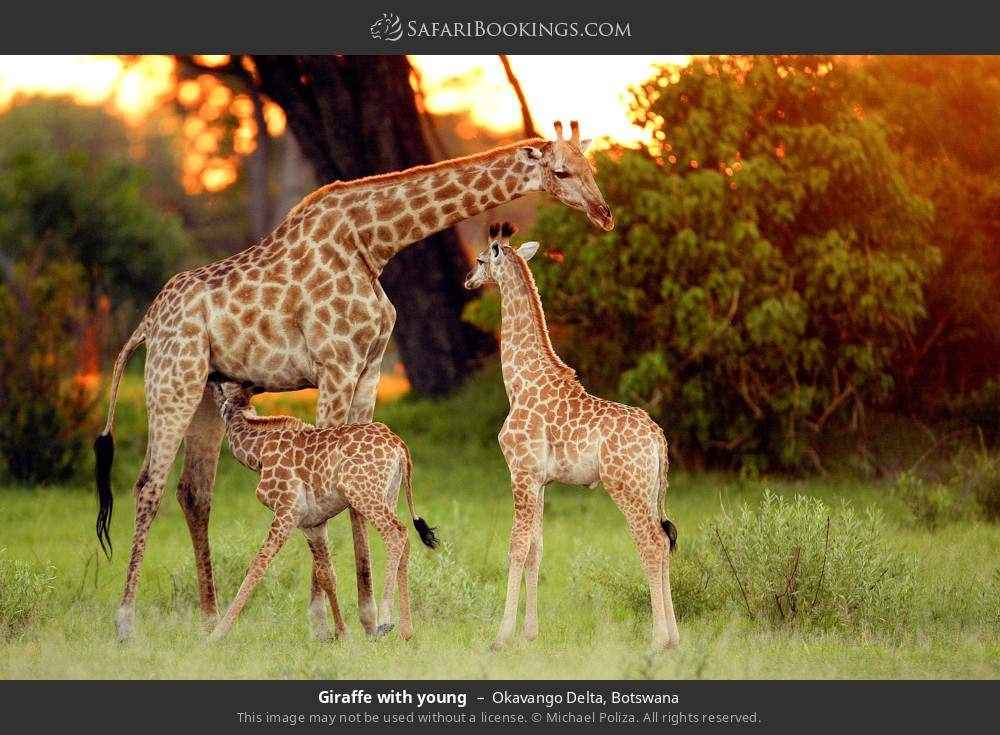 Giraffe with young in Okavango Delta, Botswana