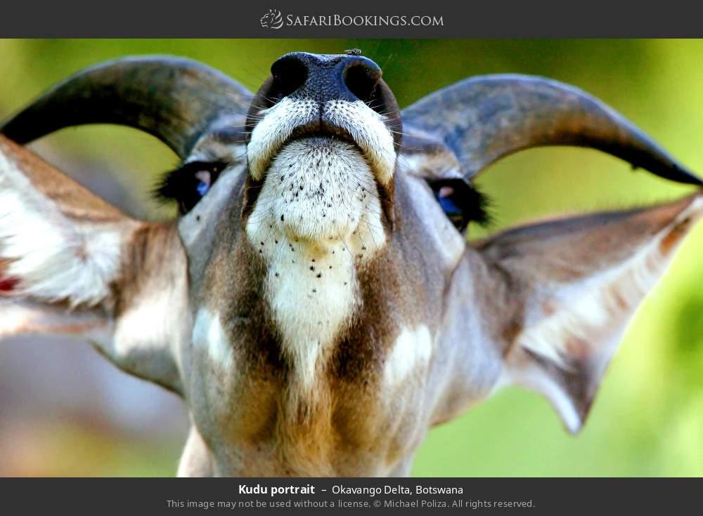 Kudu portrait in Okavango Delta, Botswana