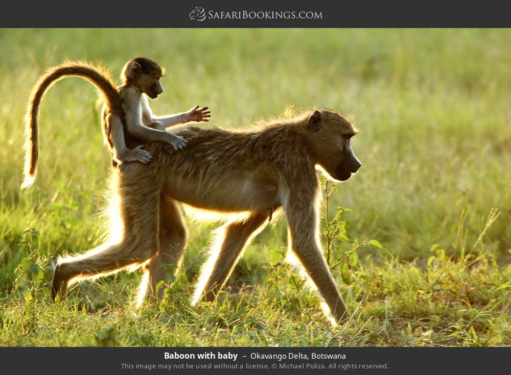 Baboon with baby in Okavango Delta, Botswana