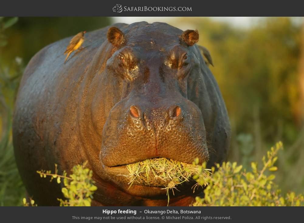 Hippo feeding in Okavango Delta, Botswana