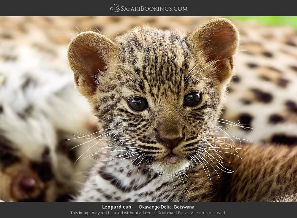 Leopard cub in Okavango Delta, Botswana