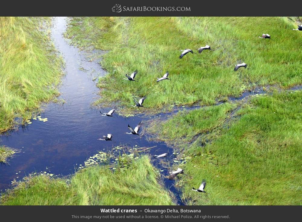 Wattled cranes in Okavango Delta, Botswana