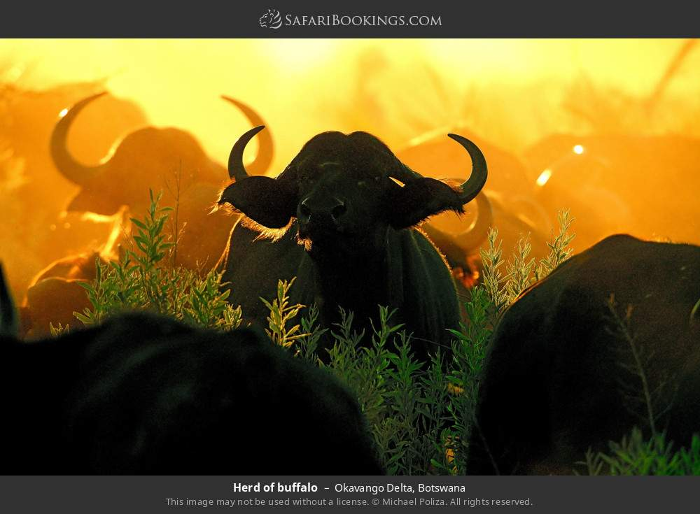 Herd of buffalo in Okavango Delta, Botswana