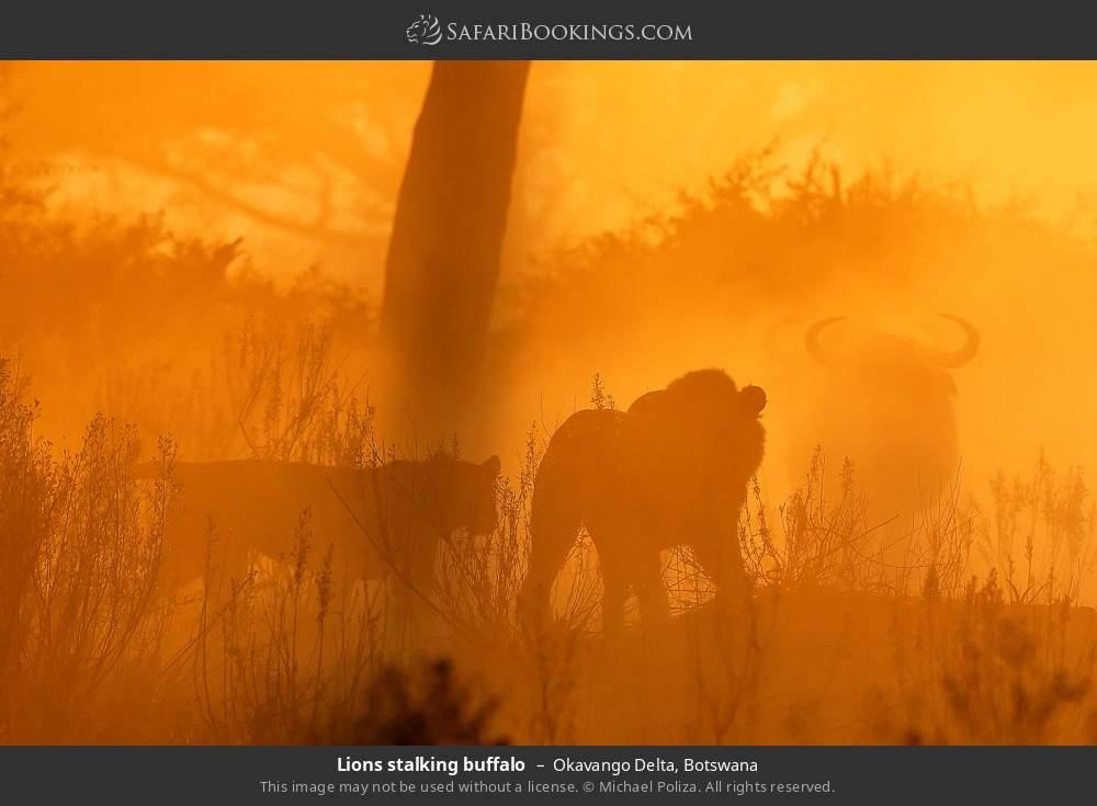 Lions stalking buffalo in Okavango Delta, Botswana