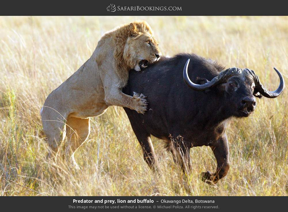 Predator and prey, lion and buffalo in Okavango Delta, Botswana