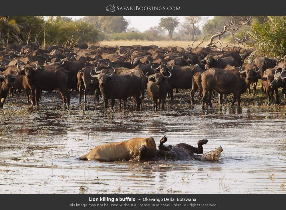 Lion killing a buffalo in Okavango Delta, Botswana