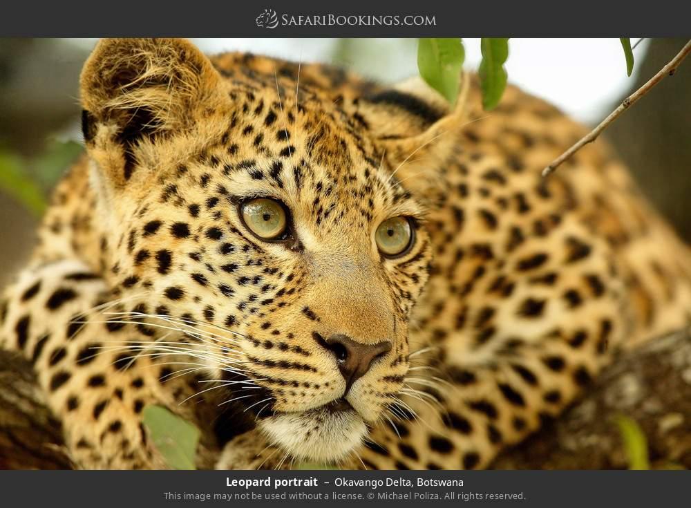 Leopard portrait in Okavango Delta, Botswana