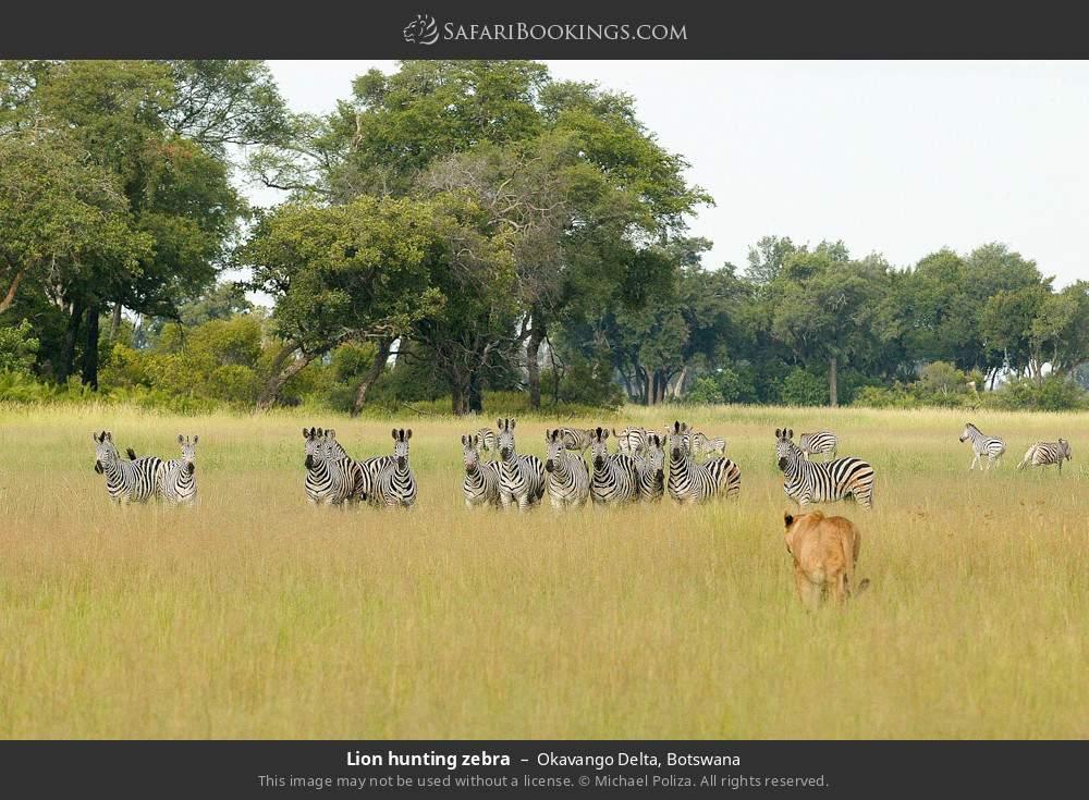 Lion hunting zebra in Okavango Delta, Botswana