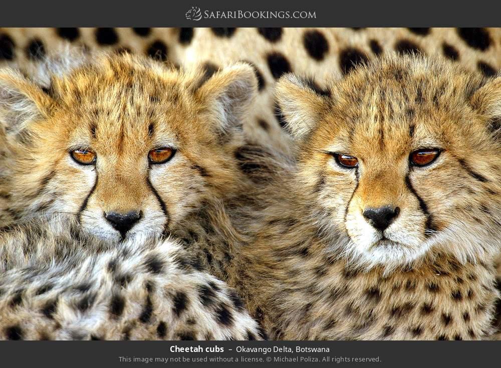 Cheetah cubs in Okavango Delta, Botswana