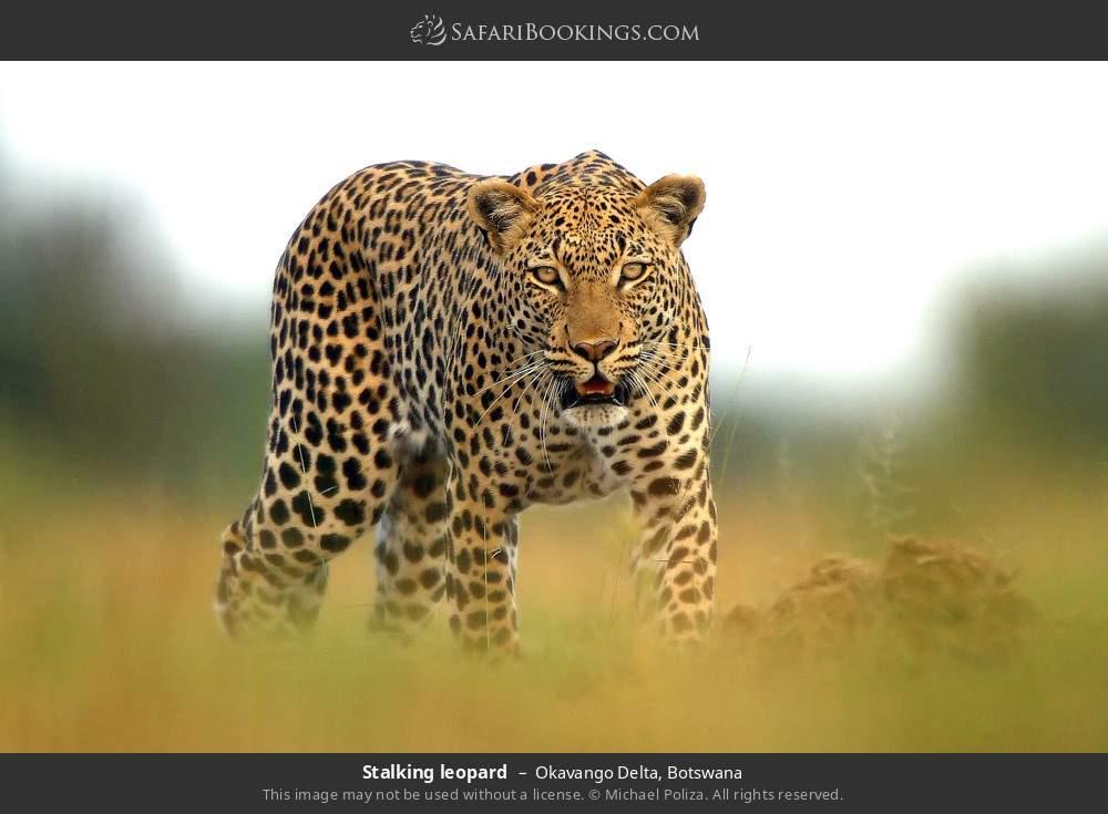 Stalking leopard in Okavango Delta, Botswana