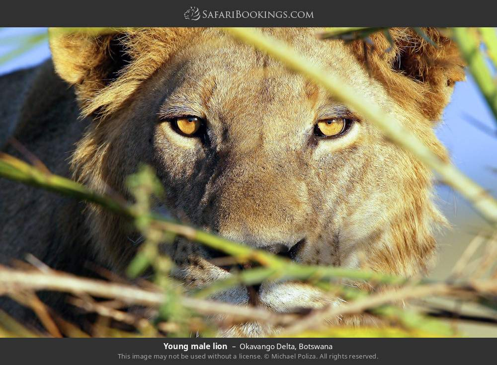 Young male Lion in Okavango Delta, Botswana