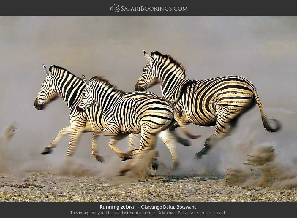 Running zebra in Okavango Delta, Botswana