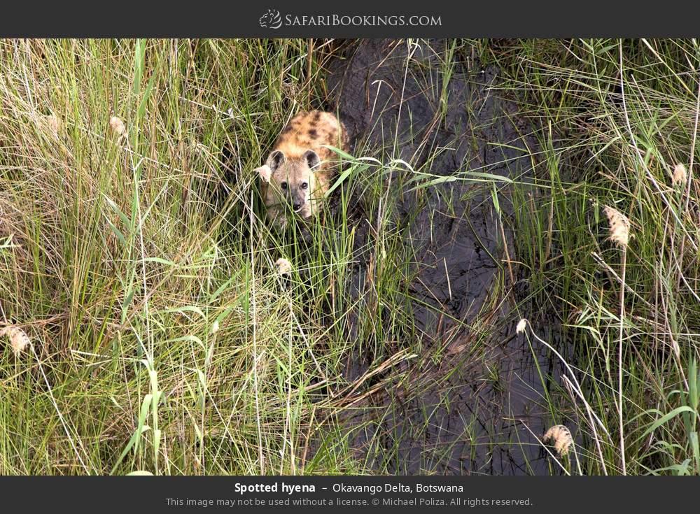 Spotted hyena in Okavango Delta, Botswana