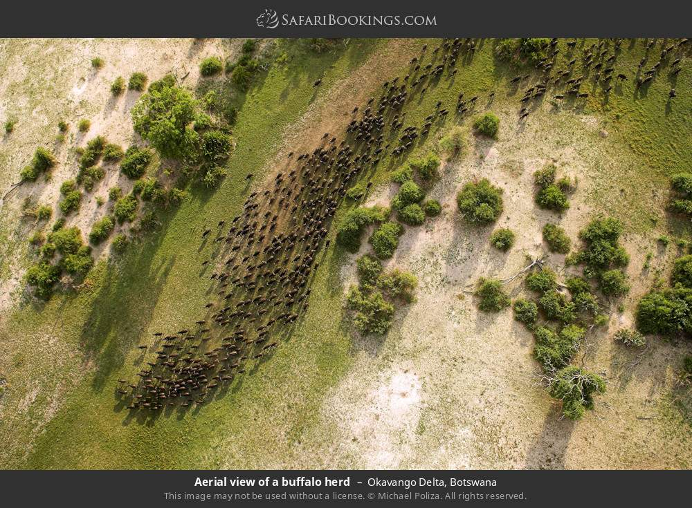 Aerial view of a buffalo herd in Okavango Delta, Botswana