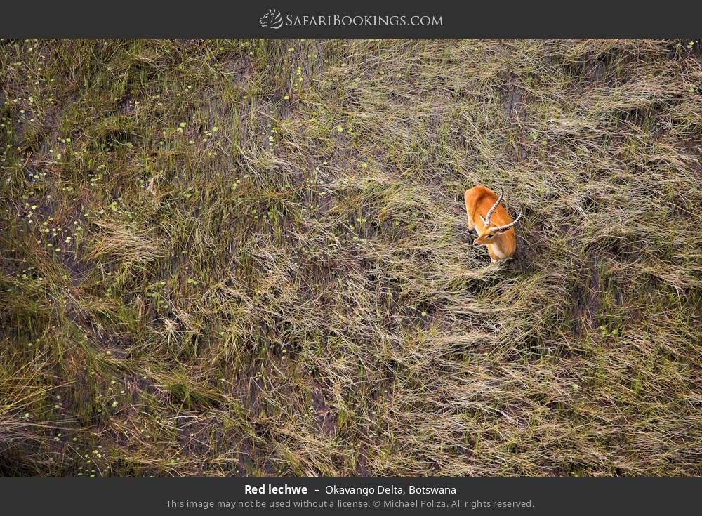 Red lechwe in Okavango Delta, Botswana