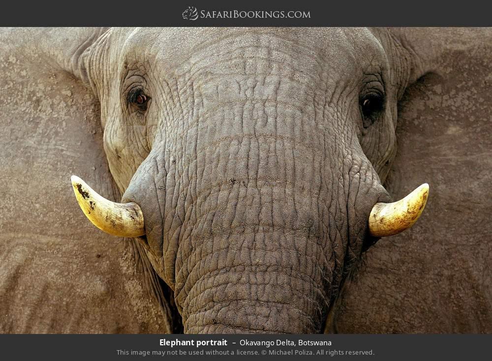 Elephant portrait in Okavango Delta, Botswana
