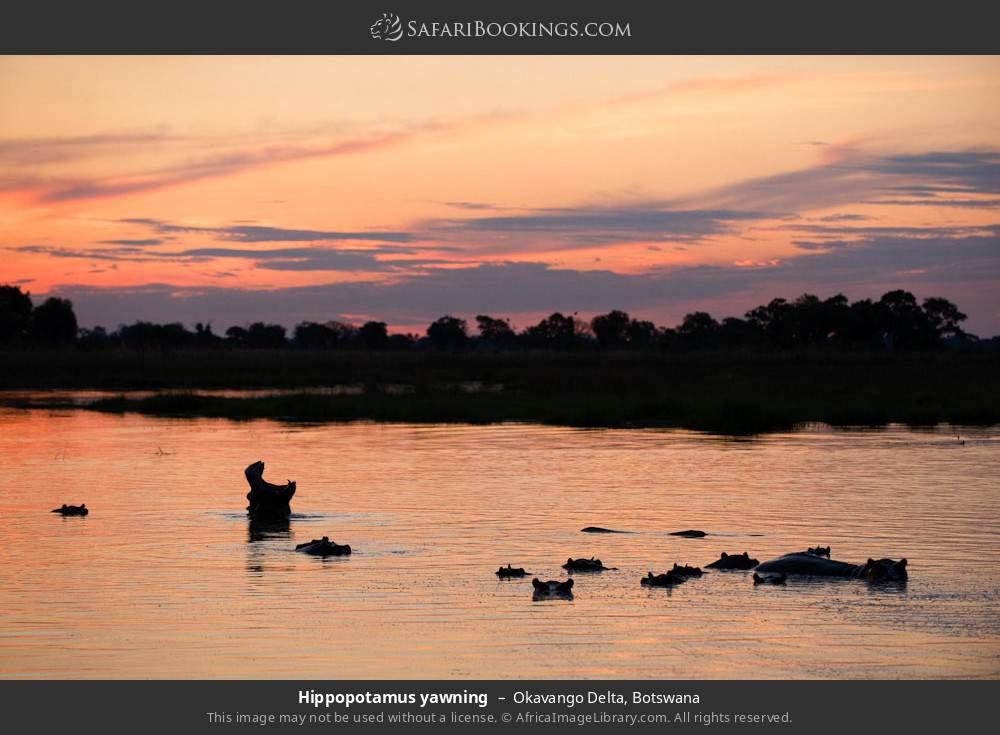 Hippopotamus yawning in Okavango Delta, Botswana