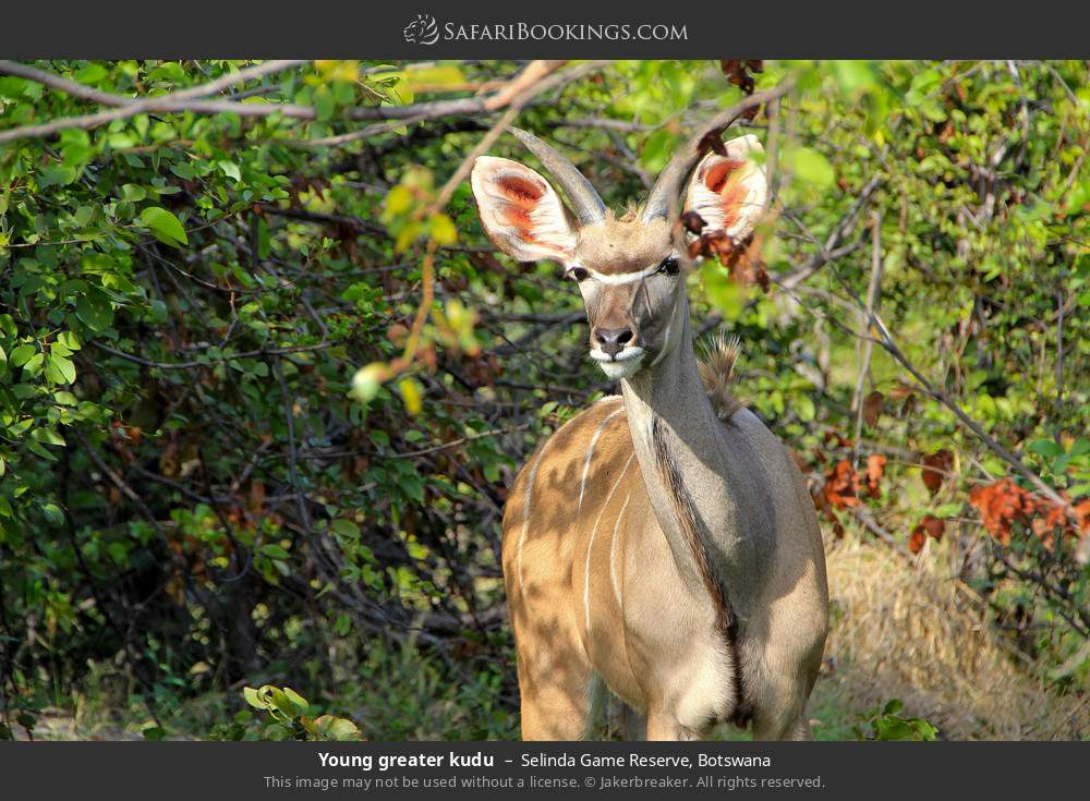 Young Greater kudu in Selinda Game Reserve, Botswana