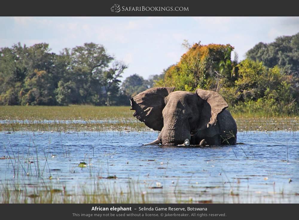 African elephant in Selinda Game Reserve, Botswana