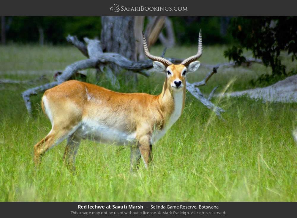 Red Lechwe at Savuti Marsh in Selinda Game Reserve, Botswana