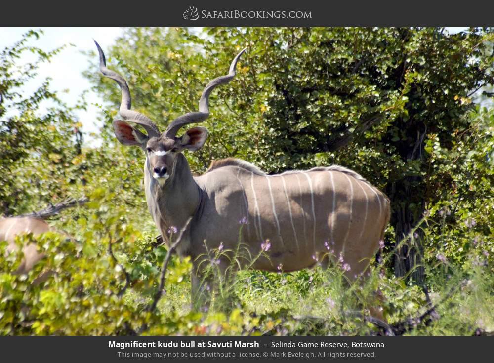 Magnificent kudu bull at Savuti Marsh in Selinda Game Reserve, Botswana
