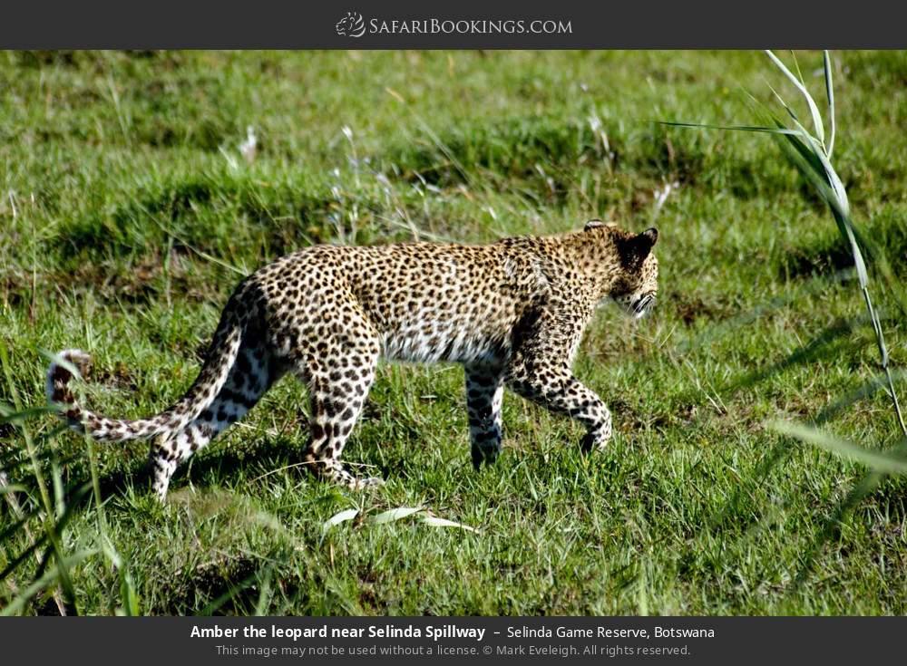 Amber the leopard near Selinda Spillway in Selinda Game Reserve, Botswana