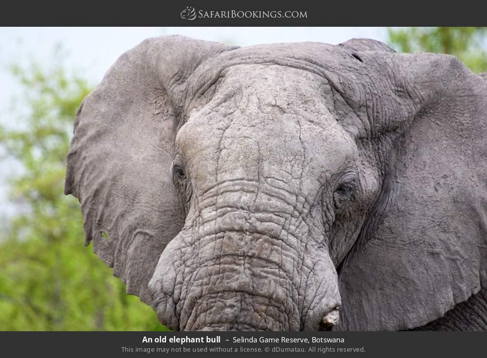 An old Elephant Bull in Selinda Game Reserve, Botswana