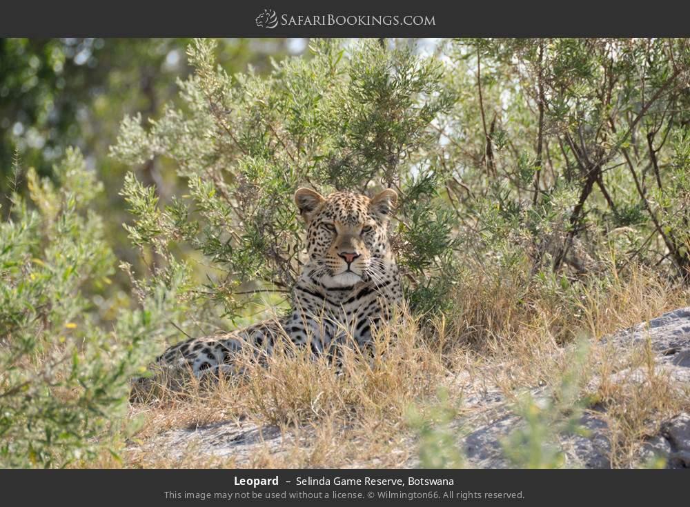 Leopard in Selinda Game Reserve, Botswana