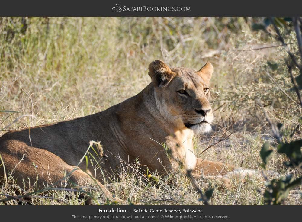 Female lion in Selinda Game Reserve, Botswana