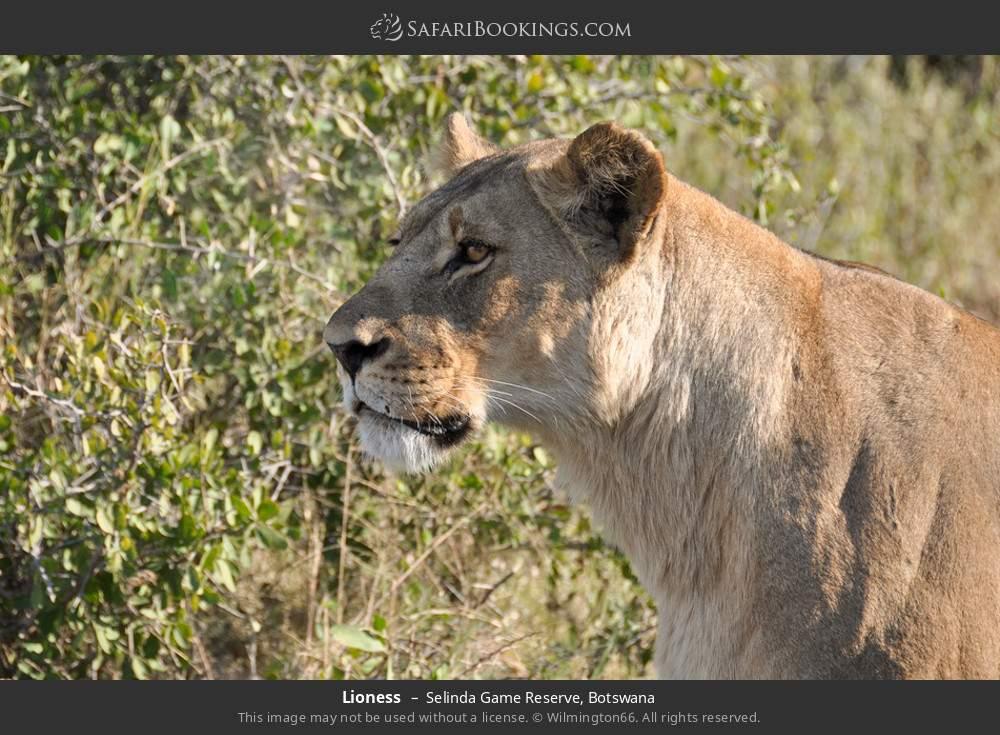 Lioness in Selinda Game Reserve, Botswana