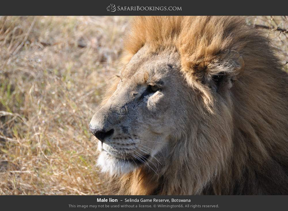 Male lion in Selinda Game Reserve, Botswana