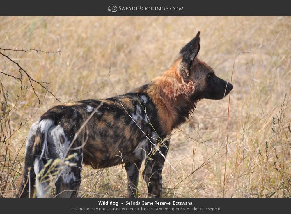 Wild dog in Selinda Game Reserve, Botswana